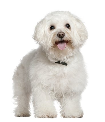 Aging dogs like this 13 year old Bichon Frise dog need extra care.