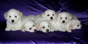 A lovely litter of Bichon Frise puppies