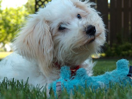 Bichon Frise puppy care, like providing safe toys, is worth the effort