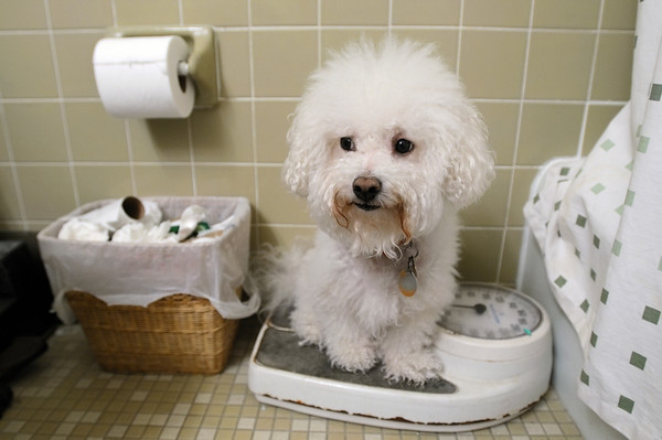 A loss of weight could indicated Bichon Frise health problems.