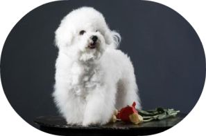 The white and fluffy Bichon Frise