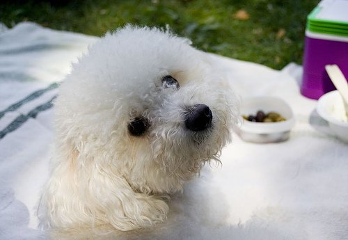 Bichon Frise on a picnic, with cute facial expression.