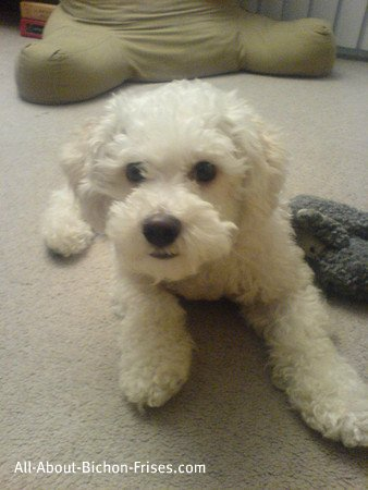 House training a puppy, Bichon Frise