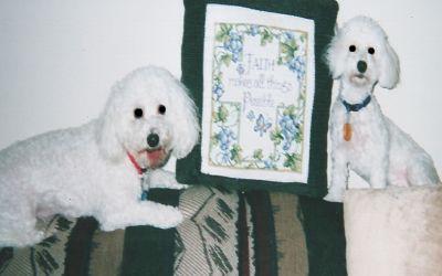 Two Bichon Frises, a non shedding dog breed