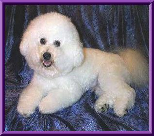 If your dog has allergies and is a Bichon, they are probably skin allergies.