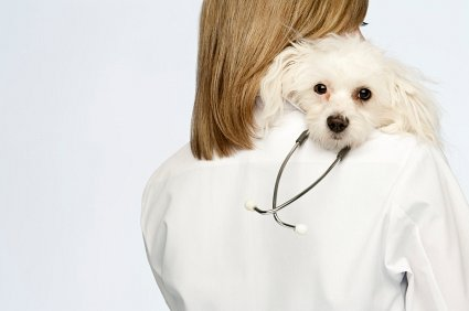 Female veterinarian with Bichon Frise laying its head on her shoulder