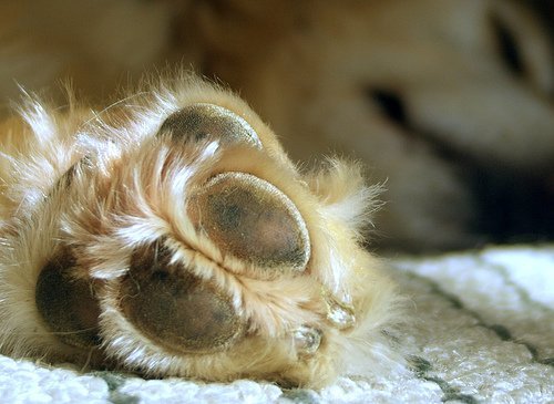 Dog looking at paws, after trimming dog nails.