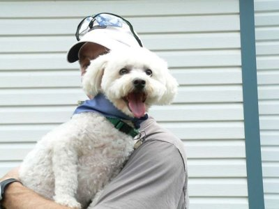 Cute little Bichon Frise puppy sitting on its owner's shoulder, with a typical happy Bichon Frise temperament