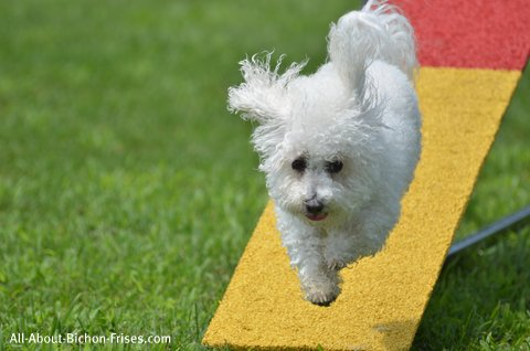 Bichon Frise agility dog training