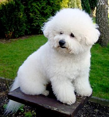Bichon Frise dogs like this one, are beautiful.