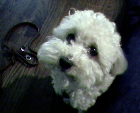 Bichon Frise puppy feeding schedule, photo of cute Bichon puppy