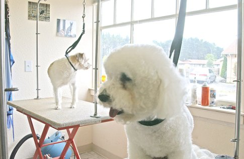 Bichon Frise grooming, Bichon on the grooming table.