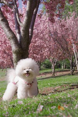 Bichon Frise hair cut photo. Show cut.