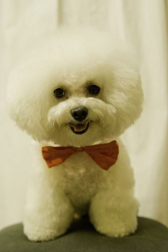 bichon frise haircut which bichon frise hair cut is best for your all 4361