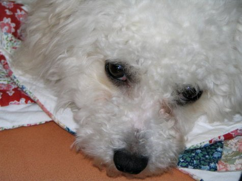 Bichon Frise puppy diarrhea causes and treatment