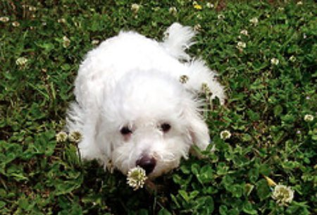 Bichon Frise puppy training for housebreaking