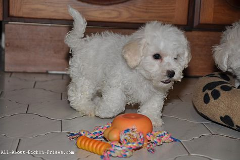 Indestructible dog toys for rough chewers like this Bichon Frise, are difficult to find.