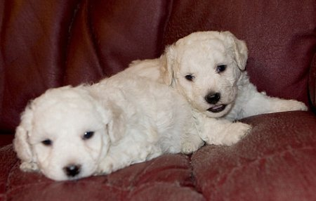 Can dogs get salmonella? Two young Bichon Frise puppies who are more susceptible to Bichon Frise salmonella symptoms and illness than mature dogs.