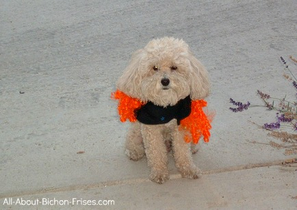 Photo of Bichon Frise puppy in a dog Halloween costumes.