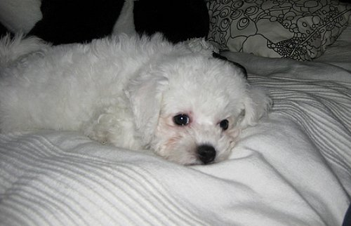 Bichon Frises are prone to dog incontinence.