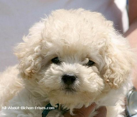 The list of small dog breeds includes Bichon Frises like this cute puppy.