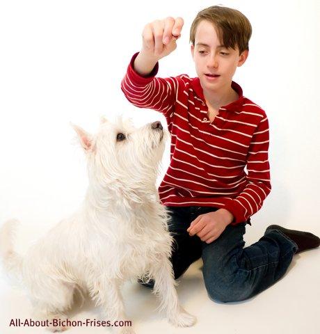 Bichon Frise dog training treat