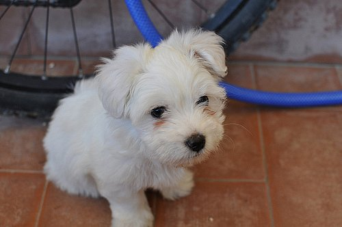 How to potty train a puppy, Bichon Frise