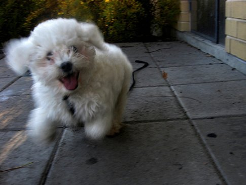 How to train a puppy for a leash, Bichon Frise puppy.