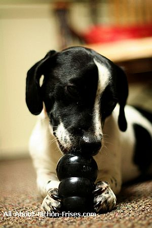 Jack Russell Terrier puppy chewing on black Kong dog toys.