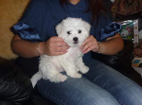 Puppy grooming begins early with a Bichon Frise puppy