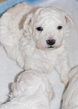 Selecting a dog like this Bichon puppy who has nice features and a lovely temperament.