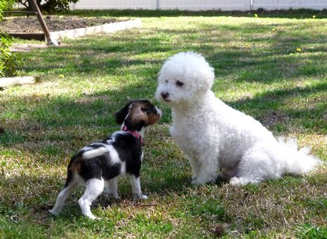 Socializing a puppy, Bichon Frise meeting a new dog.