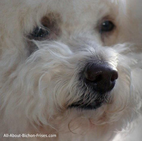 Therapy dog training for Bichon Frises