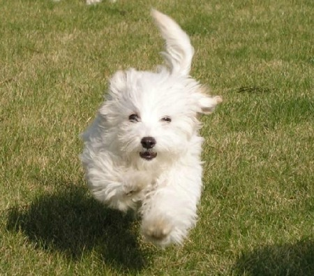 Bringing home a new puppy like this cute Bichon Frise is lots of fun.