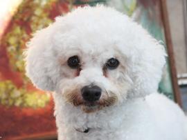 This cute little Bichon Frise has canine conjunctivitis.