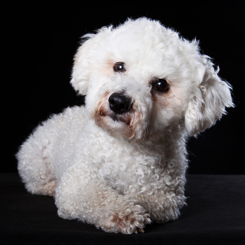 Bichon Frise puppies are quite photogenic.