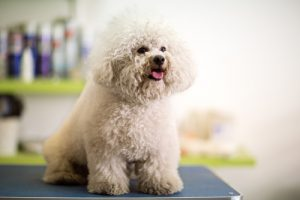Overweight dog like this Bichon Frise are prone to dog diabetes.