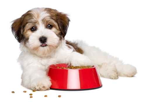 Havanese puppy showing off his red dog food bowls for puppies