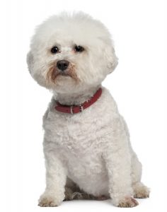 13 year old Bichon Frise