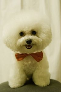 Bichon Frise with show cut