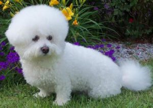 Well groomed Bichon Frise dog.