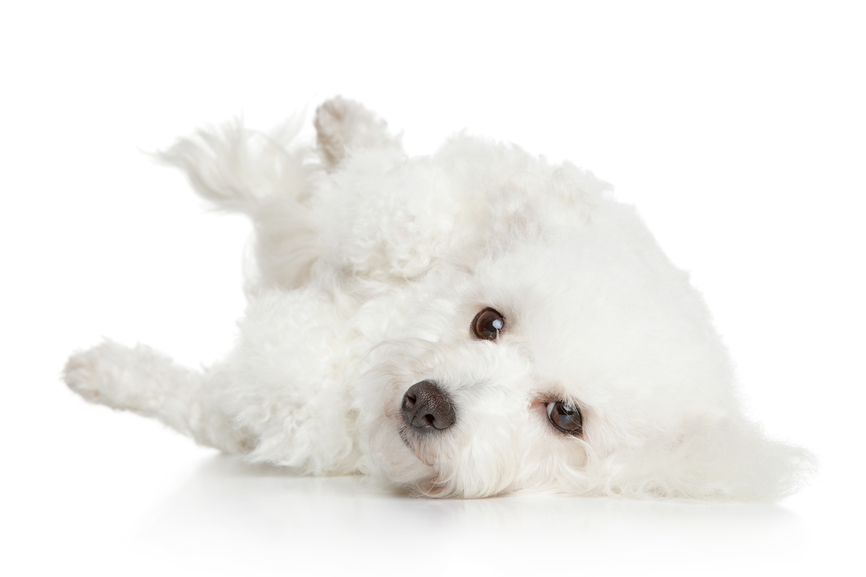 Used Dog Crates >> Puppy Grooming for Bichon Frise Puppies | Tips on How to Get Started and How to Simplify the ...
