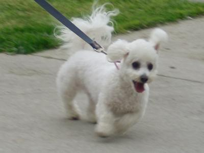 How to train a puppy includes leash training a bichon frise like this one.