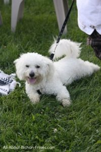 Bichon Frise pulling on leash