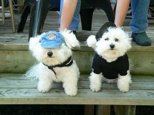 Two Bichon Frise dogs sitting, with cute apparel.